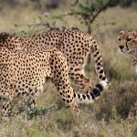 The Game Drive included this sighting only 20 feet from our vehicle.