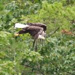 Bald eagle (we seen a lot of them)