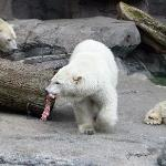 Lunch time for the Polar Bears