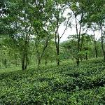 view of the tea gardens just outside the bungalow