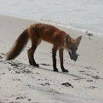 Little red fox getting a treat from the fishermen-south end of Topsail