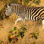 Zebra on drive