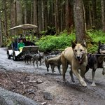 Participate in a summer training run when 16 Alaskan Huskiestake you on a ride!