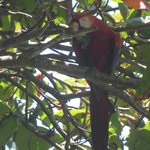 Scarlet Macaw - they were everywhere!