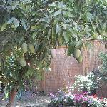 Mango tree! Equally cool!