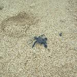 The naturally hatched baby green turtle making its way to the sea
