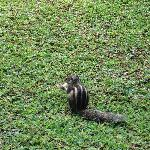 you cannot help not to noticed this funny squirrel roaming around the green grass of palm villag