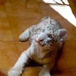 Baby white tiger! Amazing!