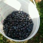 our bucket of blueberries