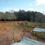 The fields, pigs and olive trees