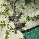 Les iguanes et les perroquets sont nos compagnons