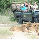 Lions often take no notice of the safari vehicles, allowing for wonderful photo opportunities!