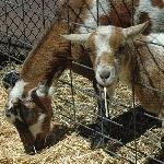 Friendly goats at Inverness Valley Inn