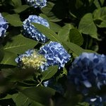 Hydrangea bushes dotting the property
