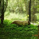 A Resident White Tiger