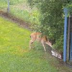 Deer on front lawn of Nordic House