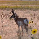 Antelope Island - Pronghorn and Sunflowers