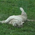 Happy tiger.