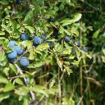 Sloe bush