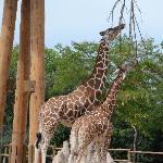 Giraffe and its baby!