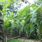 giant 20-30 ft. banana trees