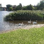 Swans in the village