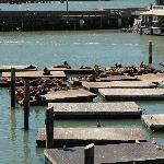 sea lions at the Pier 39 docks in the San Fran Bay