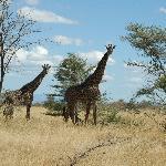 accueil de girafes à l'entrée du lodge