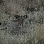 Ma première lionne