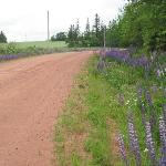 Wild Lupines growing along roadsides