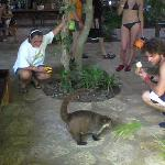 coati in the restaurant