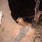 Leopard seen on a night drive.