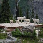 Mountain goats on the heli-pad