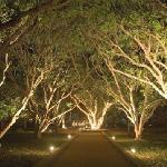 Path ways through mango trees in night