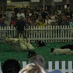 The Border Collies Show