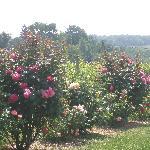 Les rosiers et les vignes