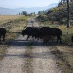 Bison crossing onto Teton plains