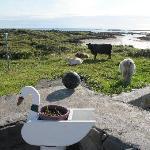 La vue du jardin, sur les vaches de la soeur de Maureen !