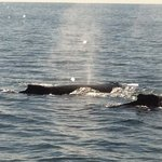 Humpbacks just off the starboard bow