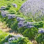 Freshly hand  harvested lavender