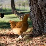 Organic, vegetarian-fed chickens provide some of our restaurant's supply