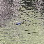 The Platypus in the Water lodge lake