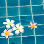 Plumaria flowers in our pool