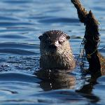 An otter checks us out