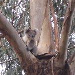 Koala at good distance