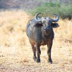 Nungu Buffalo