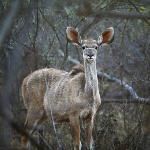Nungu Kudu