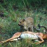 Nungu Leopard