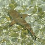 requin à pointe noir