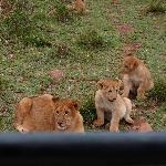 Leeuwtjes